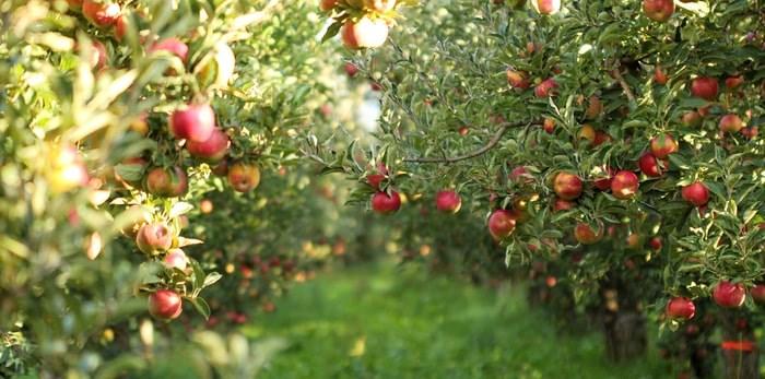 Ripe apples ready for harvesting/Shutterstock