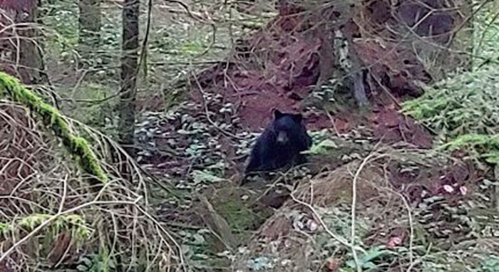 A territorial black bear that has been chasing people on the trails of Mount Seymour. The North Shore Mountain Bike Association is asking people to stay out of the area for now. Photo courtesy Cooper Quinn