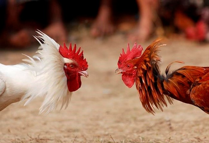 A traditional cock fight is shown in Jagiroad in Gauhati, India on Friday, Jan. 18, 2008. The BC SPCA says it executed a warrant at a Surrey property were it suspected cock fighting was taking place. THE CANADIAN PRESS/AP/Anupam Nath