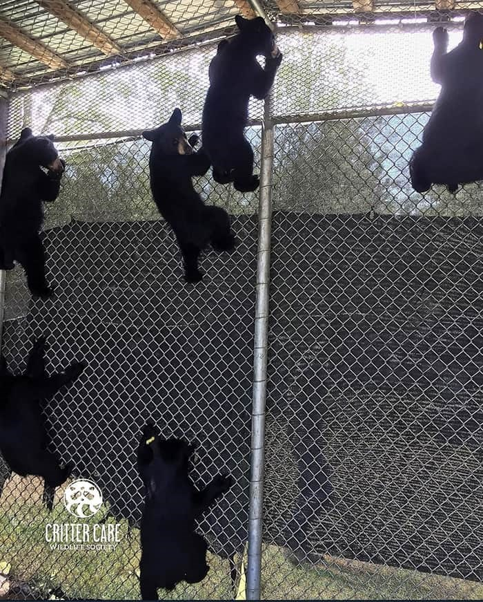 There are 18 bear cubs being cared for at Critter Care Wildlife Society. Photo: CCWS