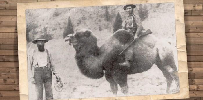 Cariboo camels. Screengrab