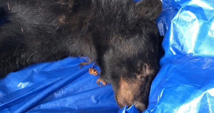 This male black bear was struck by an out-of-service transit bus Monday evening in North Vancouver. Photo supplied by North Shore Black Bear Society