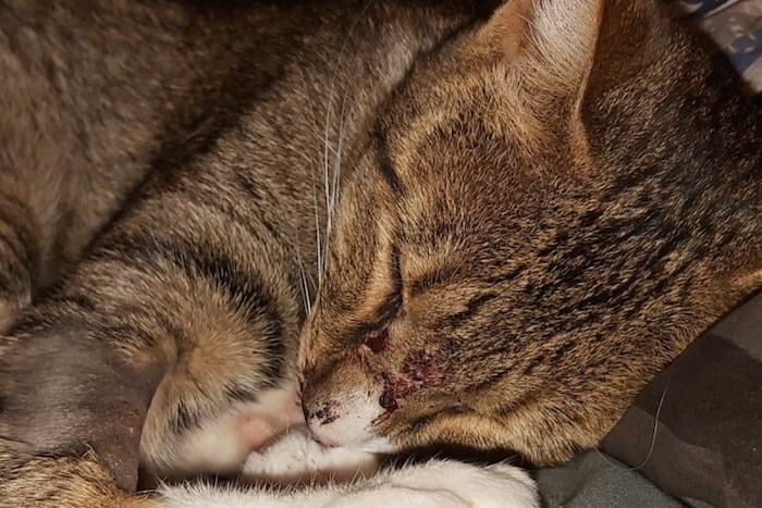 Mittens is recovering from apparently being shot by an air gun or rifle. Photo via