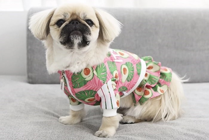 A dog models one of the outfits available at Barking Babies in Vancouver. Photo: Barking Babies