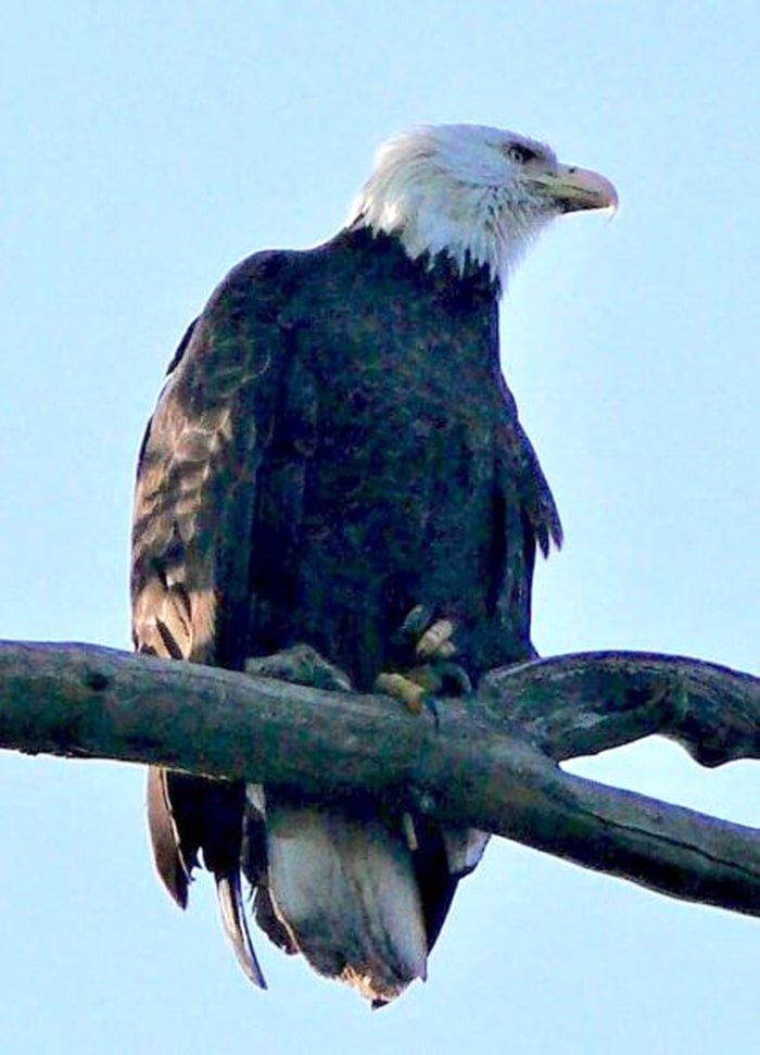 An eagle perched on a tree at Deer Lake in Burnaby. John Preissl photo