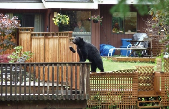 Shoe bear, shoe. One Seymour resident is walking around in bare feet after an exploring bruin grabbed his gardening shoe and pitched it into the Seymour River. Photo courtesy Patrick Lee