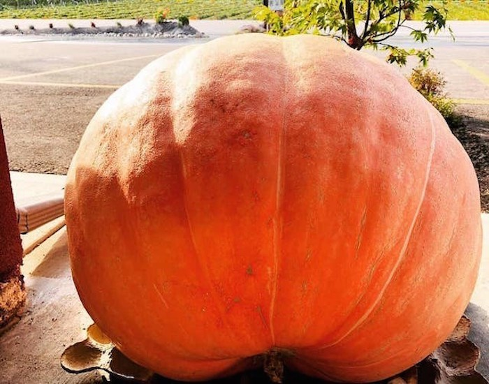 This massive 100-pound pumpkin was stolen from an Oliver, B.C. produce stand. Photo: Parmjeet Dhaliwal / Oliver Loop
