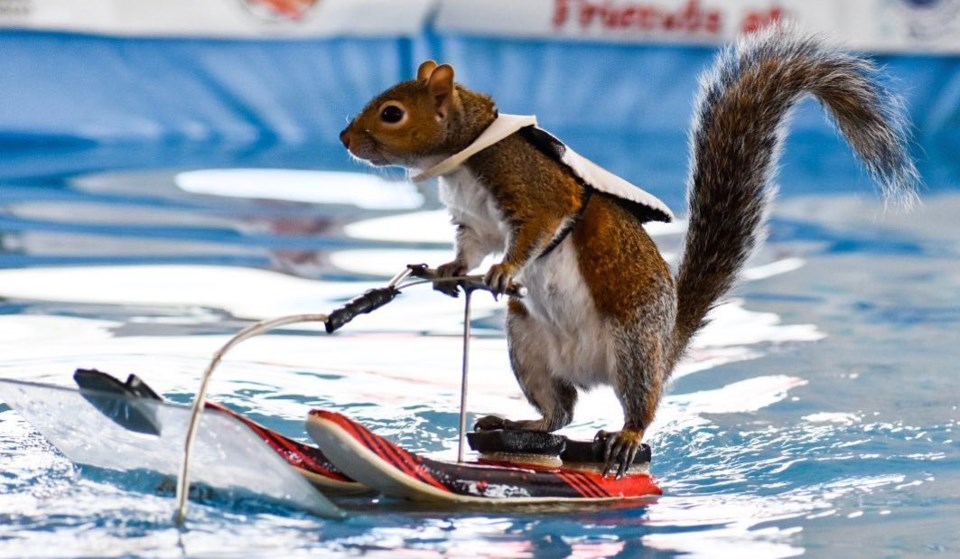 Twiggy, a water skiing squirrel with a 40-year legacy, will entertain and inform spectators daily at the 2020 Vancouver International Boat Show. Photo: