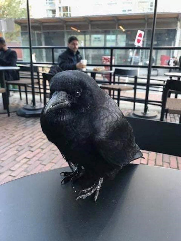 Is this crow our city's unofficial celebrity mascot, Canuck?