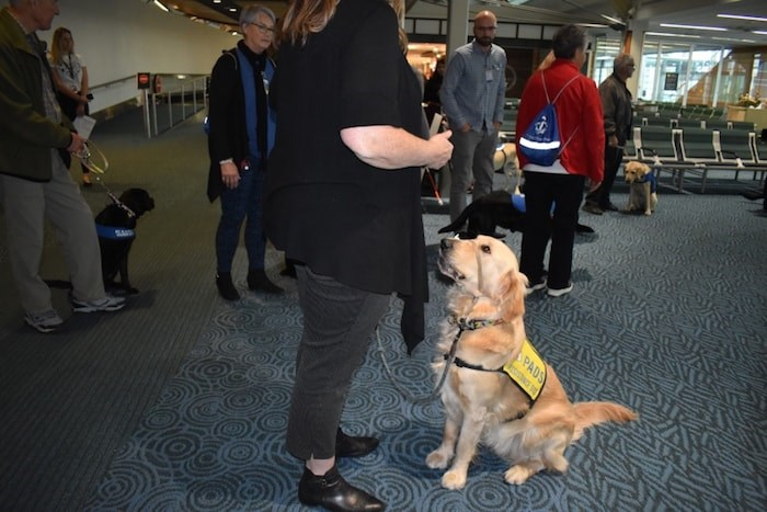 A puppy from Pacific Assistance Dogs Society (PADS) looks up at handler. Photo by Nono Shen/Richmond News