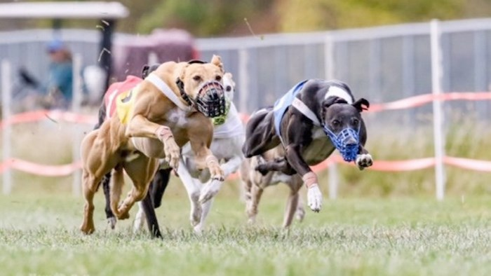 Ryder, left, and Lucy race to the finish at the whippet national championship in Indiana, Oct 18-20. Photo by Mary Huff