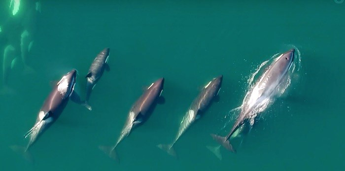 UBC researchers are using drones to capture footage of whales off the coast of B.C. Screenshot/YouTube via