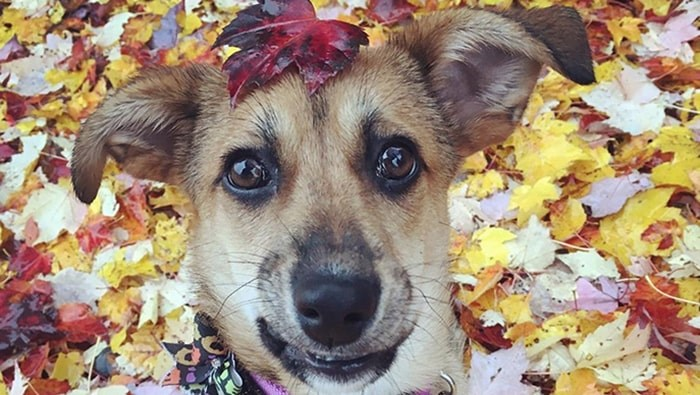 Vancouver dog Sage plays in the fall leaves. Photo: @seasonsofsage /Instagram