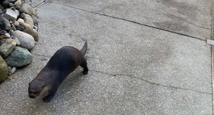 This otter paid a surprise visit to a Tsawwassen couple's backyard Saturday morning. Photo courtesy William Hansen