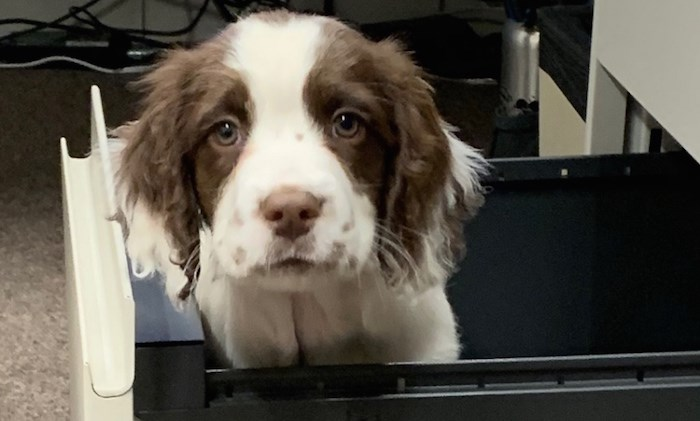 Finn is one of two new puppies recently added to Vancouver Coastal Health's C. Difficile Canine Scent Detection Program. Photo courtesy Vancouver Coastal Health