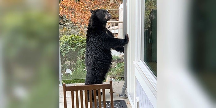 North Vancouver resident Jeff Banks snapped this photo of an upright black bear posing on his deck in Deep Cove Thursday morning. photo supplied Jeff Banks