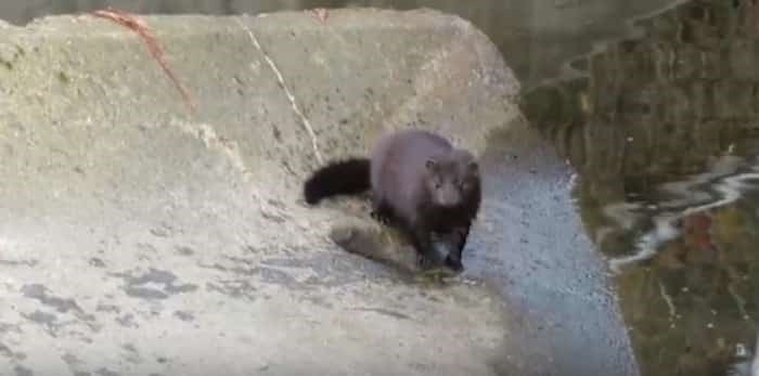 Photo: This adorable mink was spotted by Byrne Creek in South Burnaby. Photo: Paul Cipywnyk /