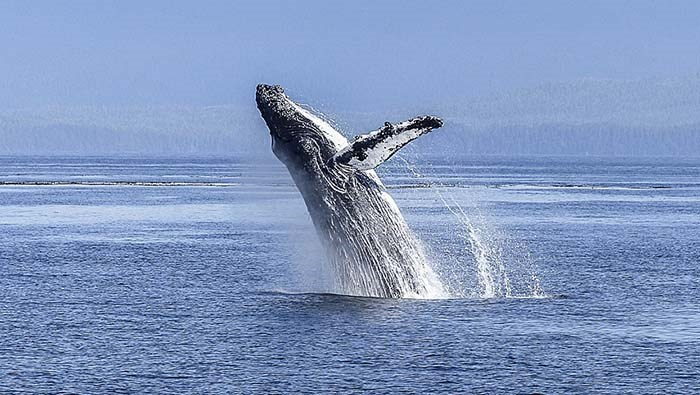 This photo of a humpback whale appears in a list of 10 Facts About The Whales And Dolphins of B.C. - photo supplied Brigette Werner