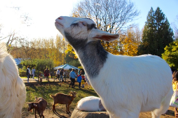 Getting up close with the animals at Aldor Acres. Photo by Lindsay William-Ross/Vancouver Is Awesome