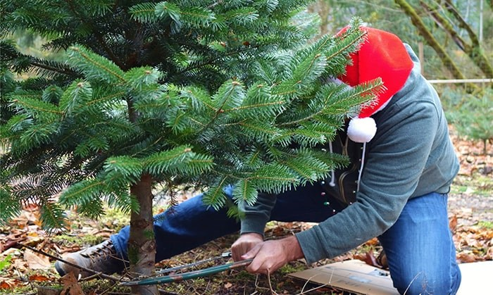Christmas tree cutting permits are now available for B.C. Photo: Shutterstock