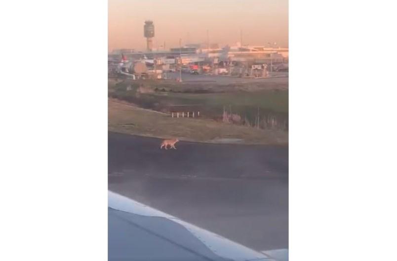 coyote-runway