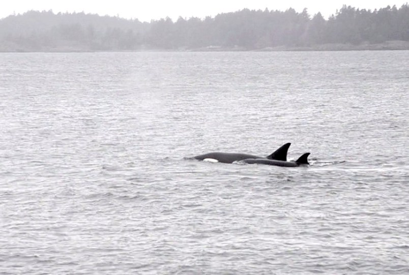 two-orcas-just-off-bowen-island