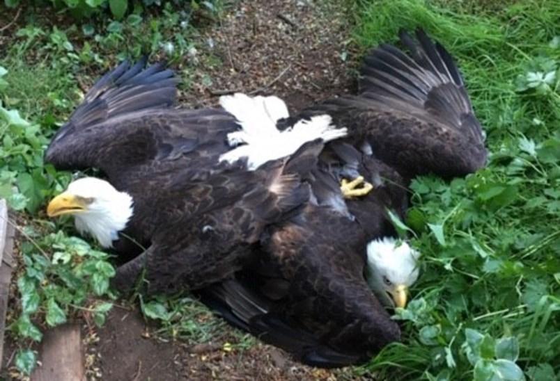 tangled-eagles