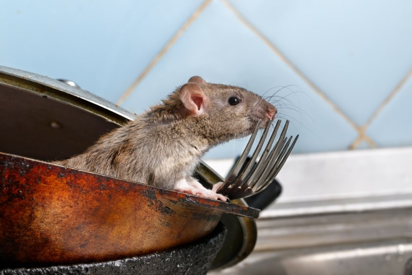 vancouver-rats