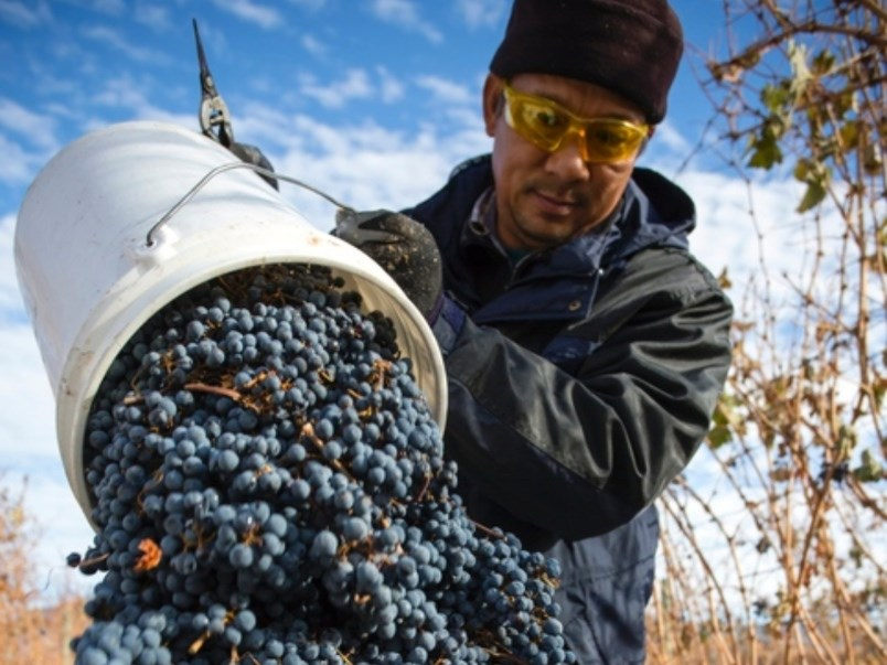 migrant-worker-in-b-c-a-migrant-worker-harvests-grapes-at-a-farm-in-british-columbia-s-okanagan-regi