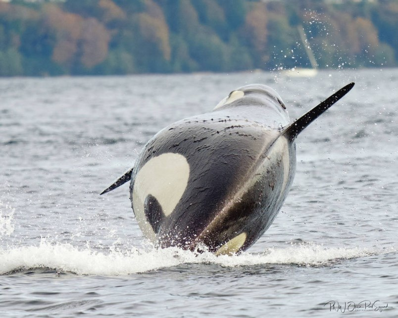 Seattle nurse captures image of likely pregnant J-Pod whale
