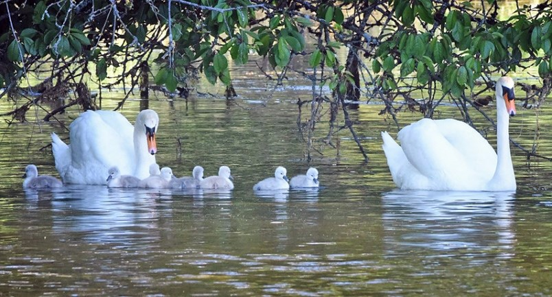 west vancouver swans 2