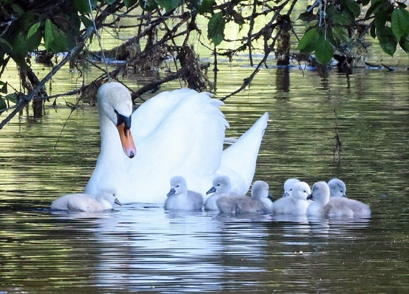 west vancouver swans