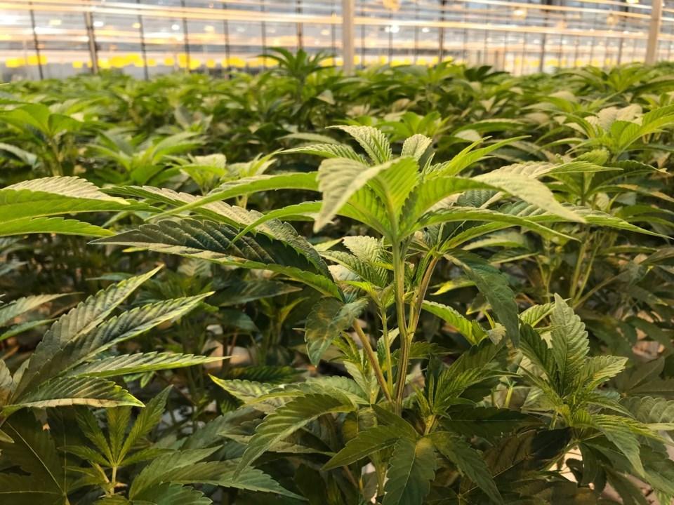 delta,-bc-pure-sunfarms-cannabis-greenhouse