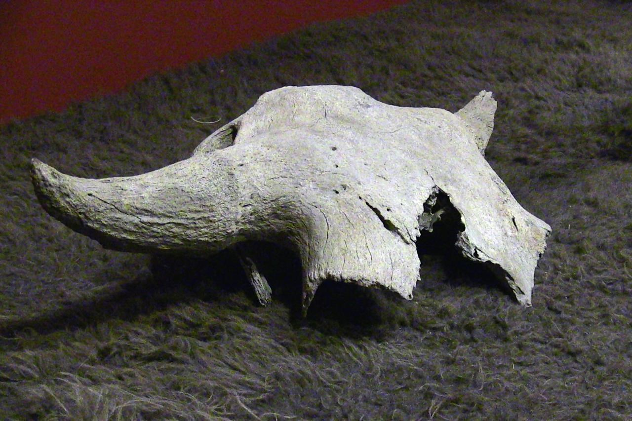 'Welcome home:' More than 2,000-year-old bison skull returned to Blackfoot