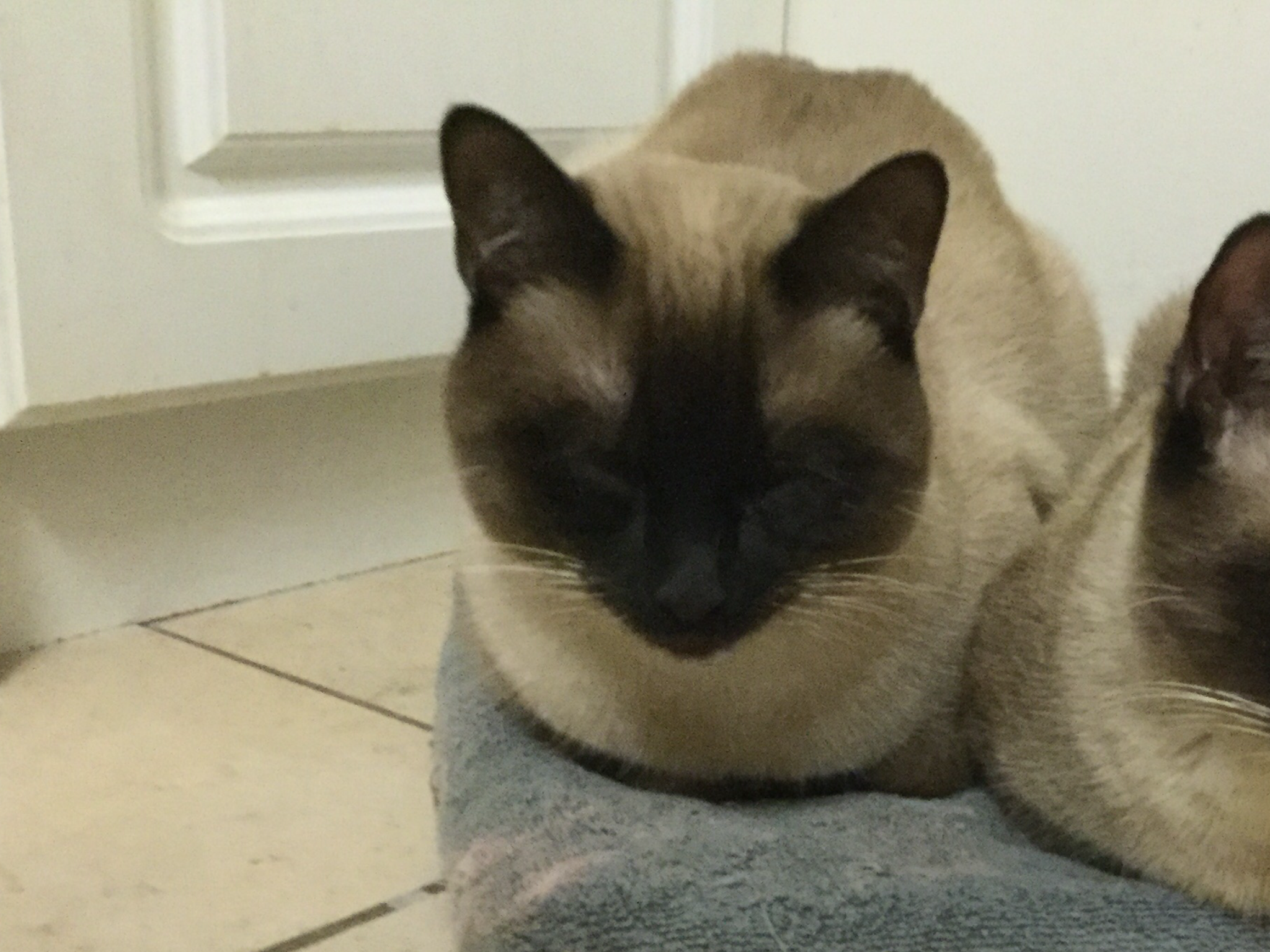Can you help find our lost Siamese cat?