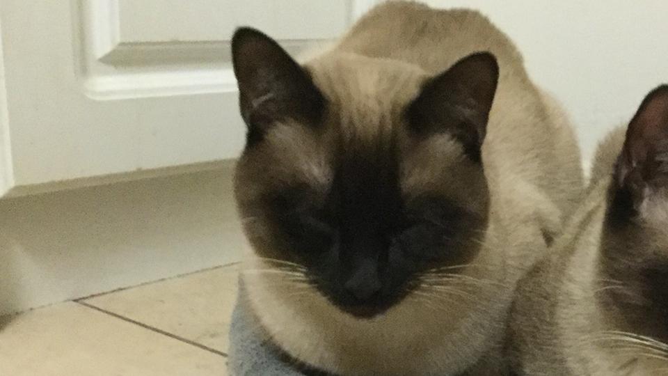 Lost: Siamese Cat